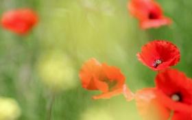 Картинка цветы, поляна, маки, красные, травка, цветение