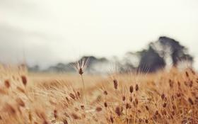 Картинка пшеница, поле, природа, колоски, колосья