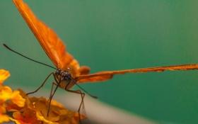 Обои butterfly, macro, animal