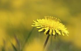 Картинка Dandelion, Taraxacum officinale, flower