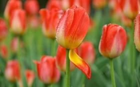 Обои капли, бутон, лепесток, тюльпаны