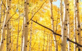 Обои лес, деревья, березы, роща