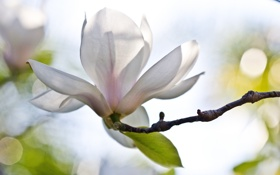 Картинка белый, цветок, блики, ветка, магнолия