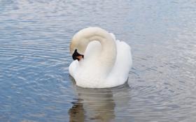 Картинка белый, отражение, рябь, грация, лебедь, водоем, оперение
