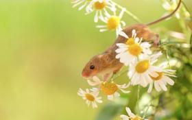 Обои маленькая, растения, зелень, полевая, ромашки, мышь, цветы