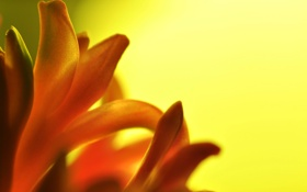 Обои цветок, макро, оранжевый, гиацинт