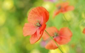 Картинка красный, мак, маки, поле, цветы