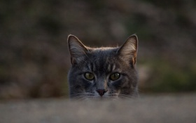 Обои глаза, котяра, кошак, взгляд