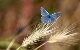 Картинка фон, бабочка, колоски