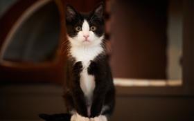 Обои кошка, кот, черно-белый, сидя