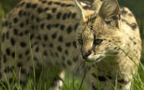 Обои трава, морда, дикая кошка, сервал, © Ania Jones, кустарниковая кошка