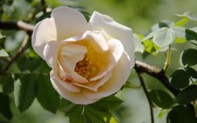 Обои листья, макро, роза