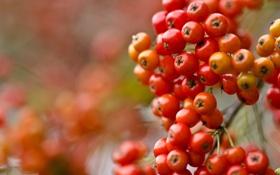 Обои рябина, гроздь, краски, осень, ягоды