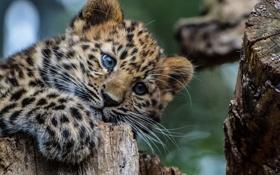 Обои взгляд, животное, Леопард, хищник, окрас, детеныш