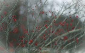Картинка ветки, природа, ягоды