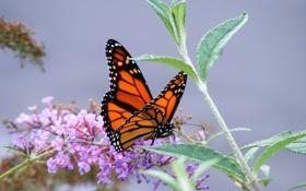 Обои серый фон, бабочка, макро, цветы