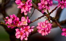 Обои ветки, розовые, лепестки, дерево, листья, почки, фон