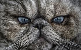 Обои глаза, кот, взгляд, котэ