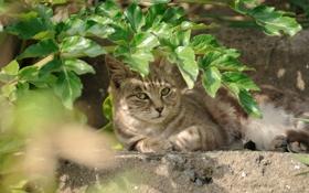 Картинка зелень, кошка, трава, отдых, лежа