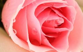 Обои роза, цветок, капли, лепестки, бутон
