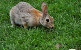 Картинка серый, трава, кролик