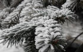 Обои зелень, Ёлка, снег, Одесса