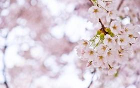 Картинка макро, свет, деревья, ветки, вишня, розовый, ветви
