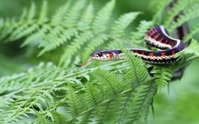 Обои папоротник, садовый уж, Подвязочная змея