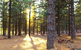 Картинка лес, солнце, свет, деревья, сосны