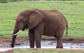 Обои природа, слон, хобот