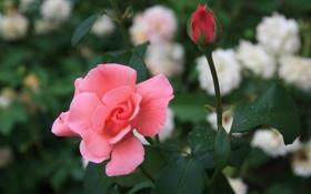 Обои цветок, макро, цветы, природа, настроение, роза, бутон