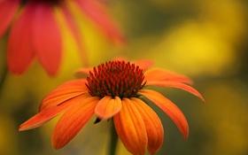 Обои макро, природа, лепестки, сад, стебель, эхинацея