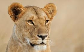 Картинка морда, львица, взгляд, кошка