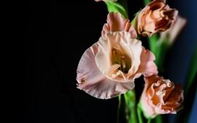 Картинка цветы, лепестки, гладиолусы