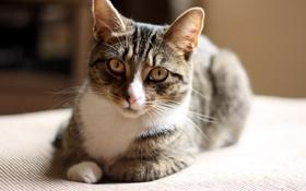 Картинка кошка, глаза, шерсть, мордашка