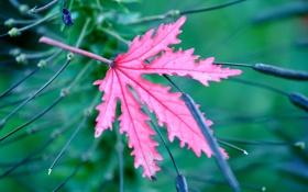 Обои природа, лист, растение, цвет