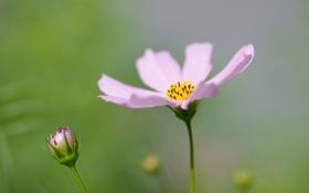 Обои лето, растение, зелень, лепестки, цвет, розовый, цветок