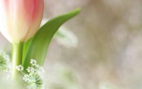 Картинка цветок, фон, розовый, тюльпан, белые, мелкие