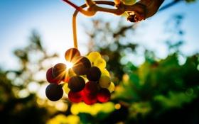 Картинка виноград, солнце, боке, ягоды, фон, свет, лучи