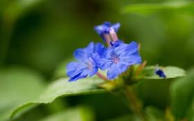 Картинка зелень, листья, цветы, лепестки, размытость, голубые, тычинки