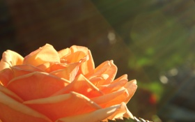 Обои цветок, роза, лепестки, солнечные лучи