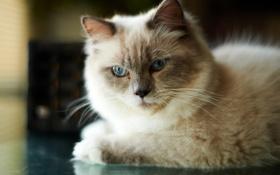 Обои кошка, кот, мордочка, лежа, сиамский