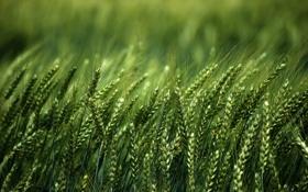 Картинка поле, природа, колосья, nature