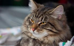Картинка кот, серый, пушистый, лежит