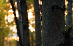 Картинка лес, солнце, свет, деревья, листва, ствол, кора