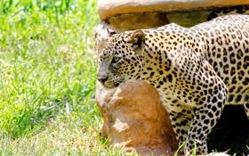 Обои свет, тень, хищник, пятна, леопард, дикая кошка