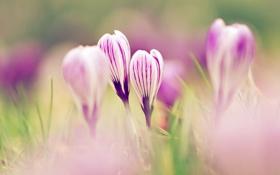 Обои макро, весна, размытость, крокусы, бутоны, первоцвет