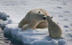 Обои лёд, медведи, север