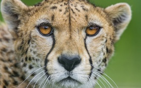 Картинка кошка, морда, портрет, гепард, ©Tambako The Jaguar