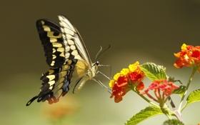 Картинка цветок, растение, бабочка, природа, мотылек, крылья